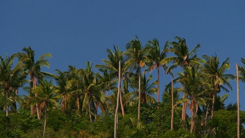 Coconut Trees Cocos nucifera  with a blue sky in the background on the island of Mindoro in the Philippines - HD stock video clip