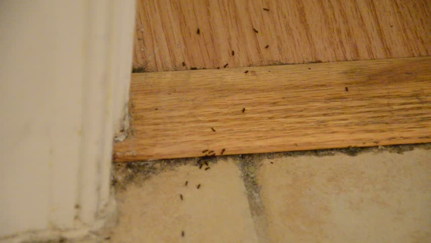 House Infested With Ants On Floor Tiles Carpet And Wood