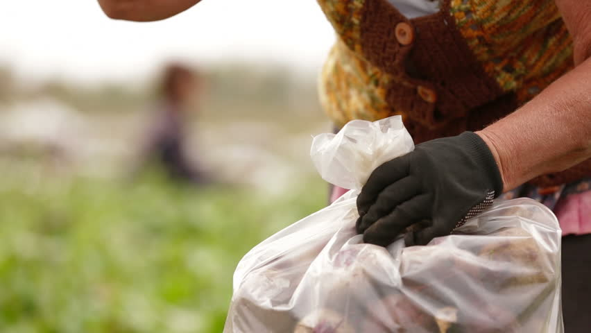 Worker is tying a sack of fresh beets with rope. - HD stock video clip