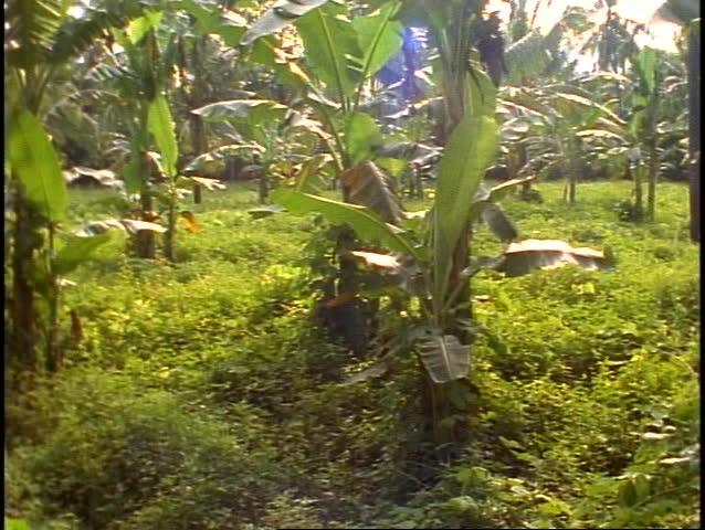 Bali tropical jungle, green, lush rainforest, wide shot, pan right