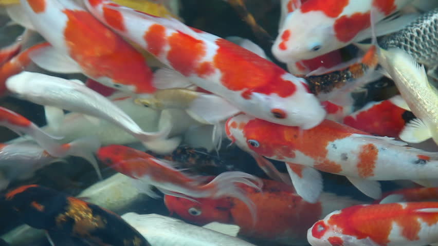 Fancy carp colorful pond fish when feeding stock footage for Colorful pond fish