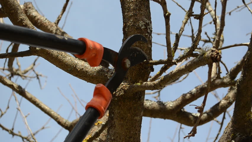 fruit tree cut trim prune with two handle clipper scissors in spring garden on background of blue sky. - HD stock footage clip