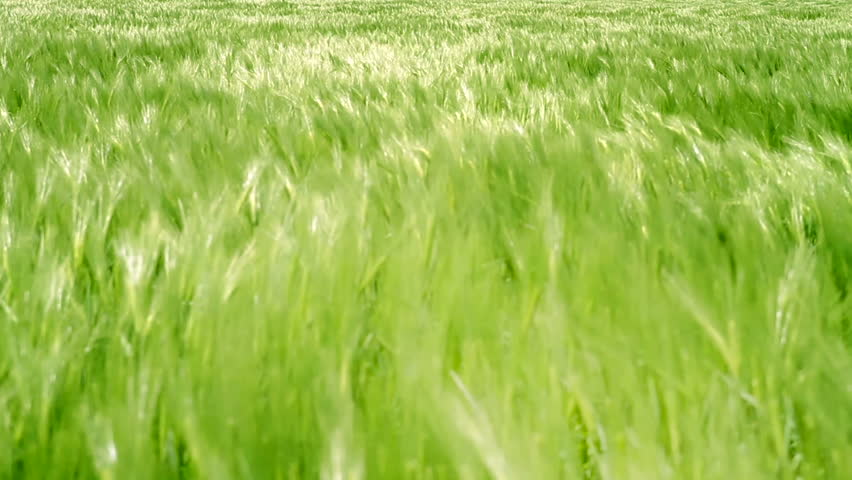 Green Grass Field Waves Moved by Summer Wind Nature Crane Shot Background HD