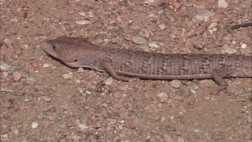 Shot of lizard crawling along the ground - HD stock footage clip
