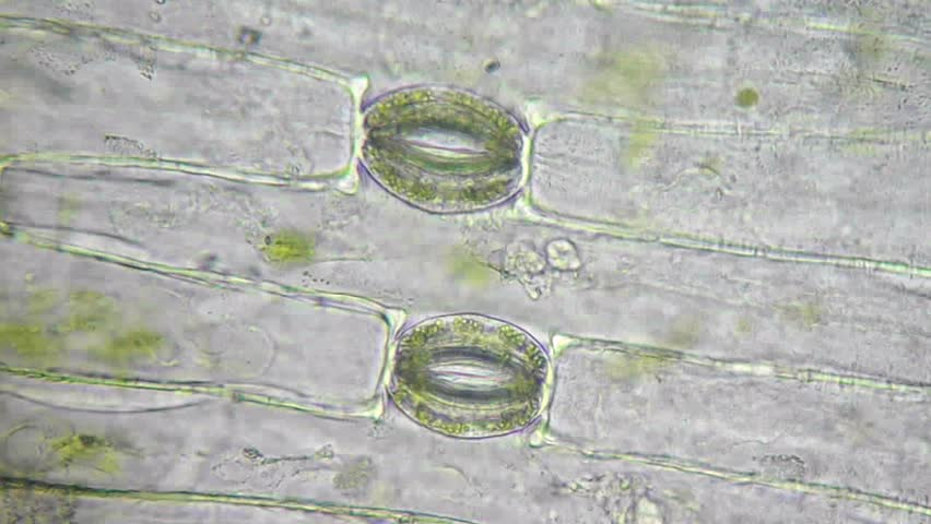 Plant Cells, Chloroplasts And Stoma Under Microscope ...