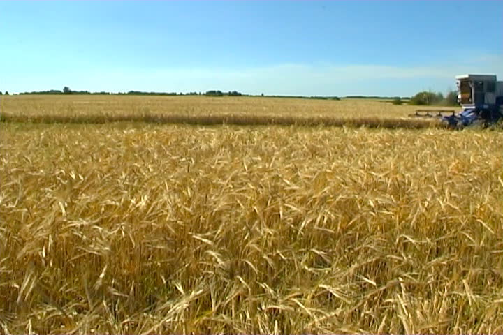 The Combine takes away the wheat. - SD stock video clip