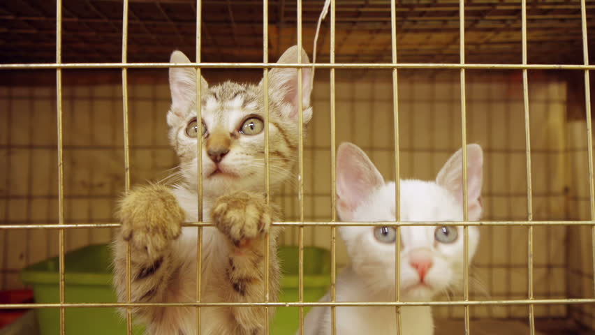 Kittens act attentive Inside animal shelter cage waiting for adoption.