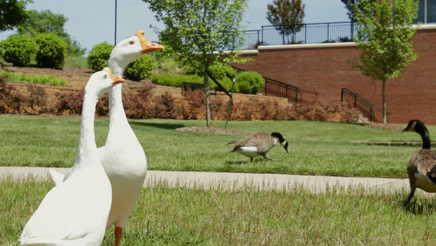 Two blue eyed white Chinese geese share a college campus with Canadian geese - HD stock footage clip