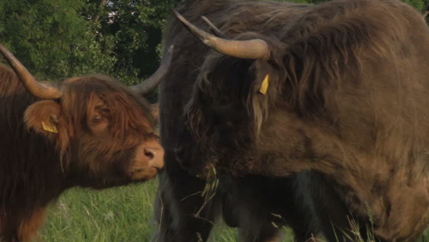 Close up big scottish highland cattle - HD stock footage clip
