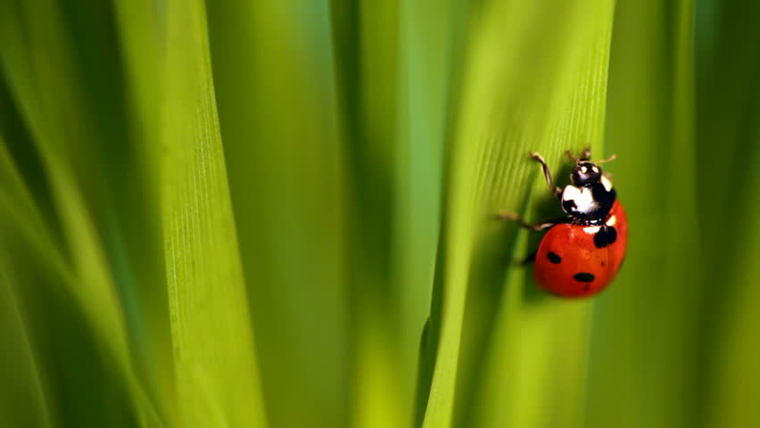 Closeup of the lady bug in the green grass - HD stock video clip