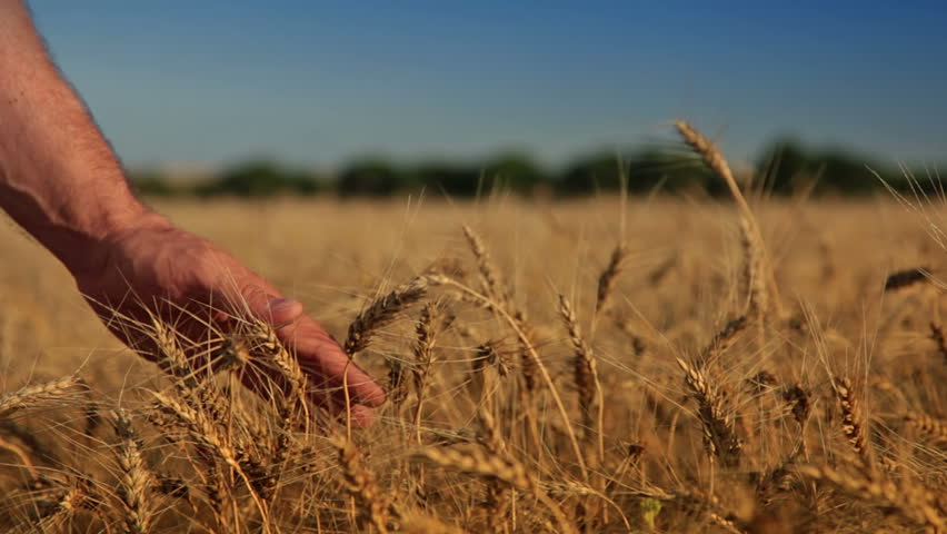Summer. Sunny day. Field of ripe wheat. Man's hand