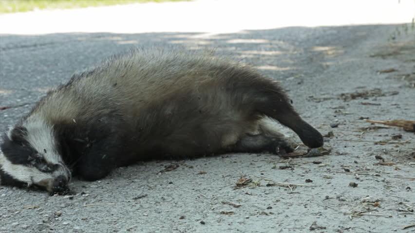 Skunk Getting Hit By Car