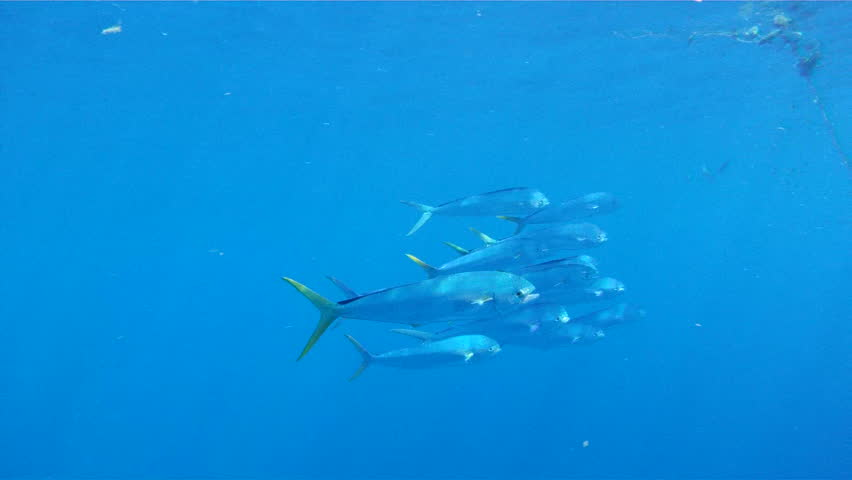 Mahi mahi stock footage video 2881234 shutterstock for Atlantic game fish