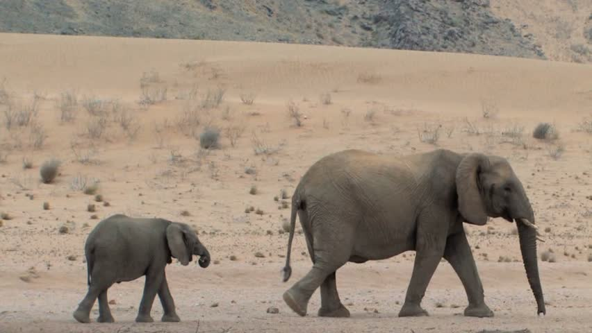 Desert Elephants try to exist with a scarcity of vegetation and very little water in Namibia.  Eating only leaves from branches they pull from trees and digging holes in the ground for water.