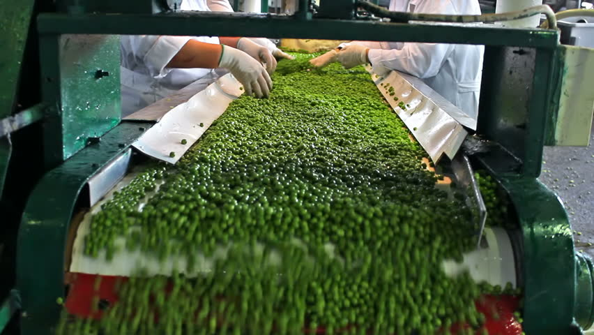 peas processing factory ; workers on the conveyor belt control the quality of of raw peas before going to processing, video clip - HD stock video clip