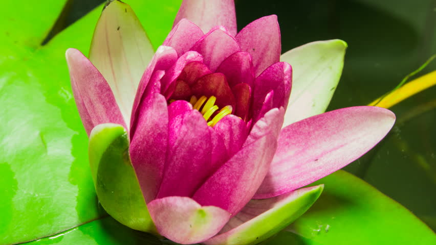 Time lapse opening of water lily flower.Motion
