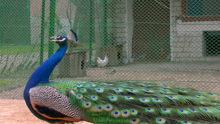 Peacock Displaying His Colorful Feathered Tail. Stock ...