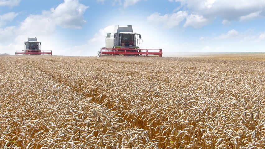 Two combine harvesting wheat