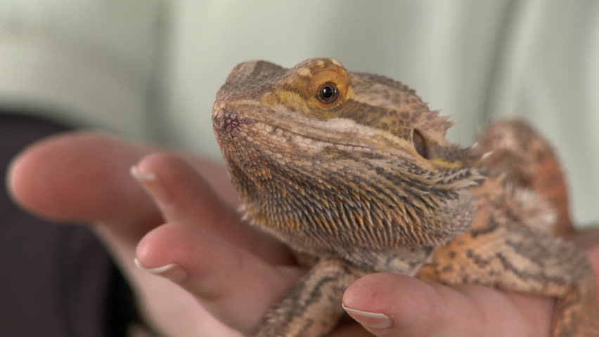 Close up of a bearded dragon being held towards the camera - Bearded dragon yawn ...