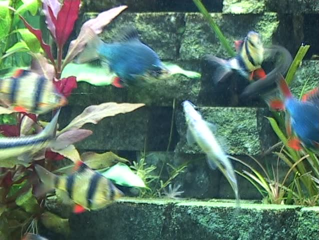 A Number Of Tropical Freshwater Fish Swimming And Feeding