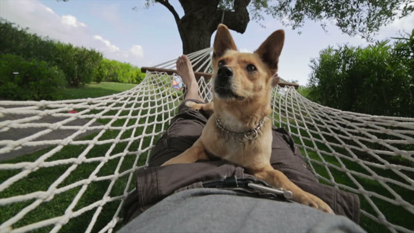 Funny Dog swinging on the hammock on top of his owner in the backyard
