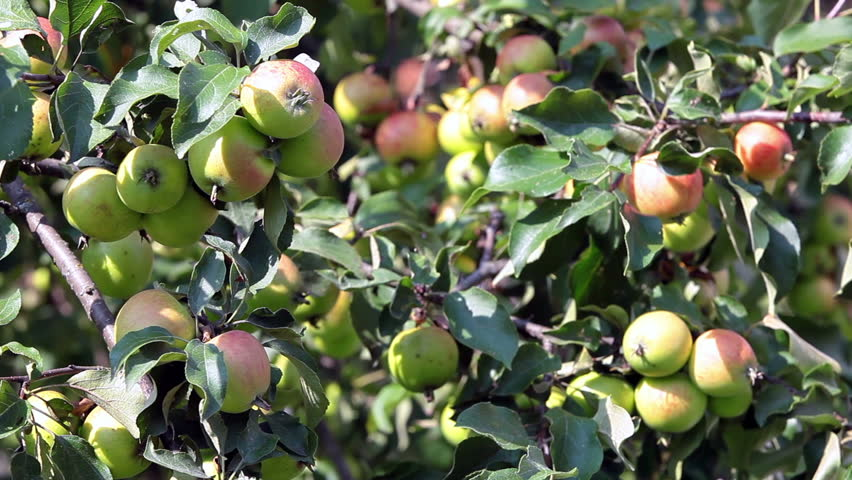 Background Of Green And Red Apples On Apple Tree Branch In ...
