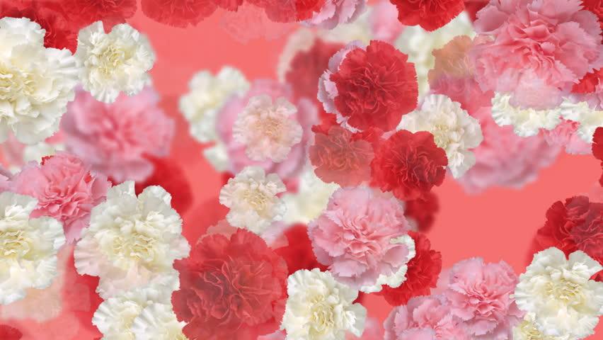 Carnation flower backgrounds