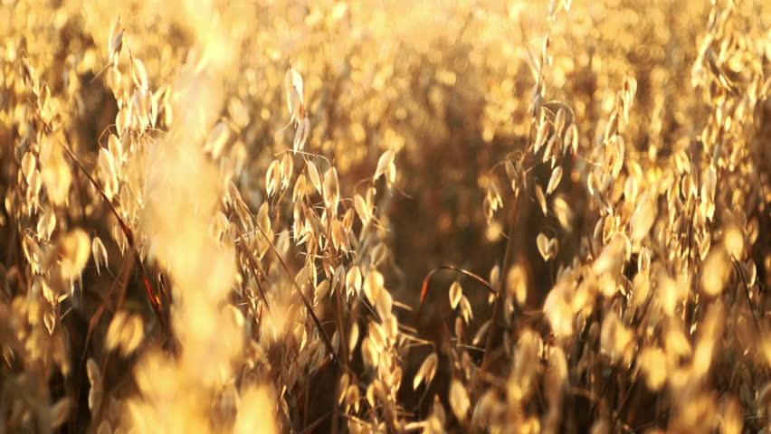 Golden oat ready to be harvested - HD stock video clip