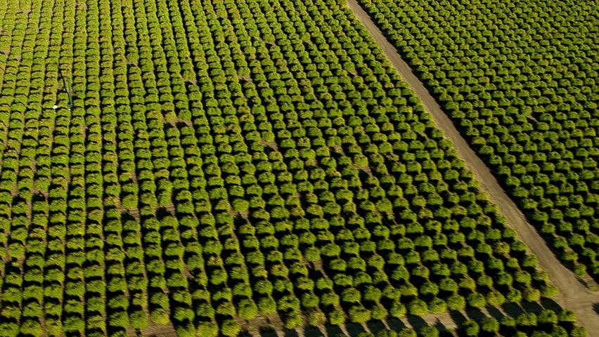 Aerial shot of orange grove, Southern California