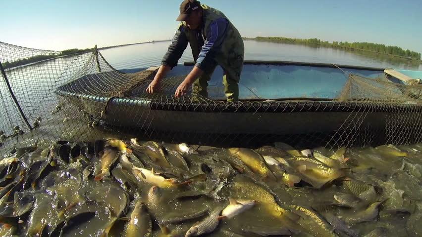 Commercial Fishing. Fisherman Pulling Fishing Net. Harvesting fish at fish farm.  Fishing Industry. - HD stock footage clip
