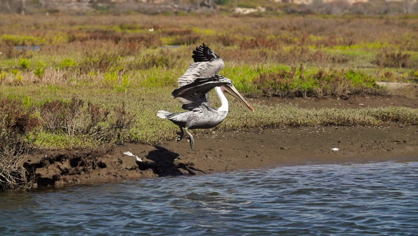 Pelican Diving Into Water in 240fps Location: Huntington Beach California Source: Sony FS700 - HD stock video clip