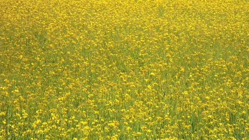 Closeup of a rapeseed field  - HD stock video clip
