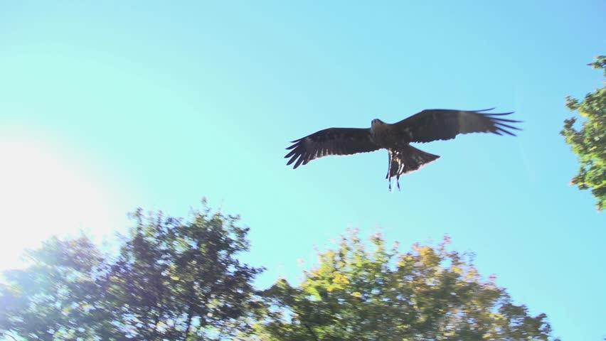 hawk. eagle. bird. slow motion .animals wildlife.
