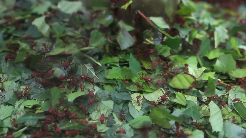 Natural cooperation, ant hill, diligent ants moving caring green leaf - HD stock video clip