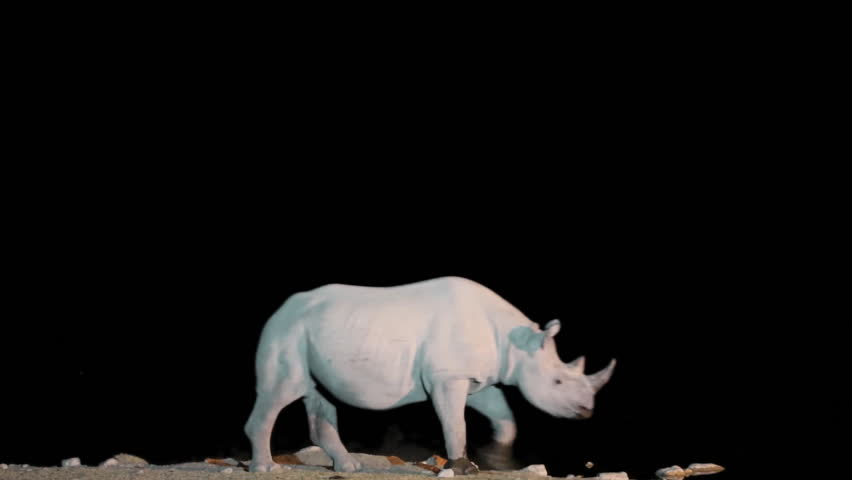 Side view of injured rhino crossing in the night