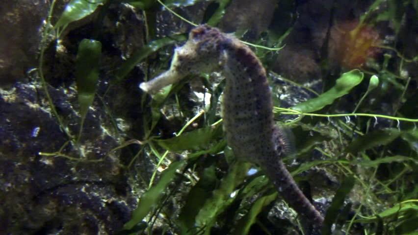 seahorse - HD stock footage clip