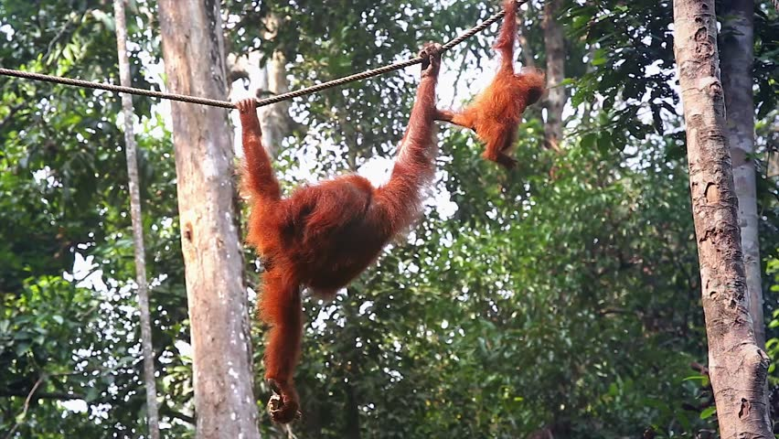 A wild Endangered female Orangutan (Pongo pygmaeus) and her baby play and eat in the jungles of Malaysia. Semenggoh Nature Reserve rehabilitates wild apes in open forest. Mom grabs baby & swings away. - HD stock footage clip