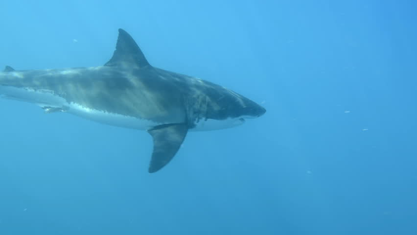 A great white shark swimming in the waters off of Guadalupe Island, Mexico