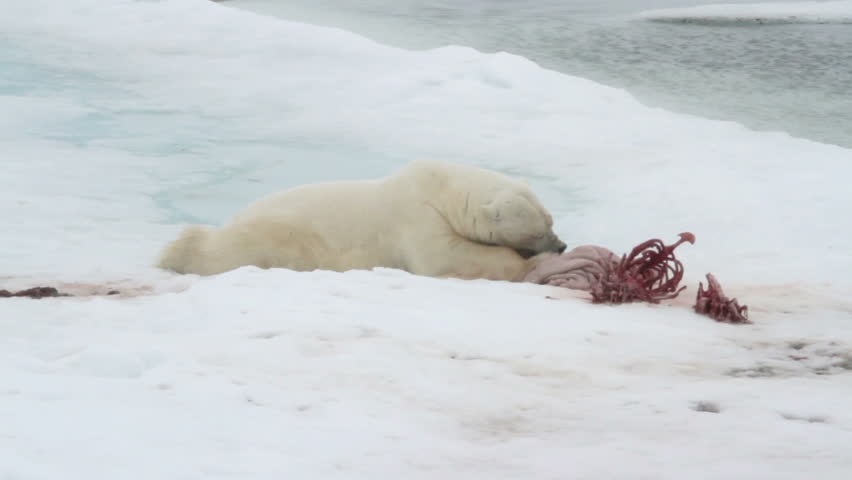 Polar bear on sea ice picking at the remains of a seal carcass.