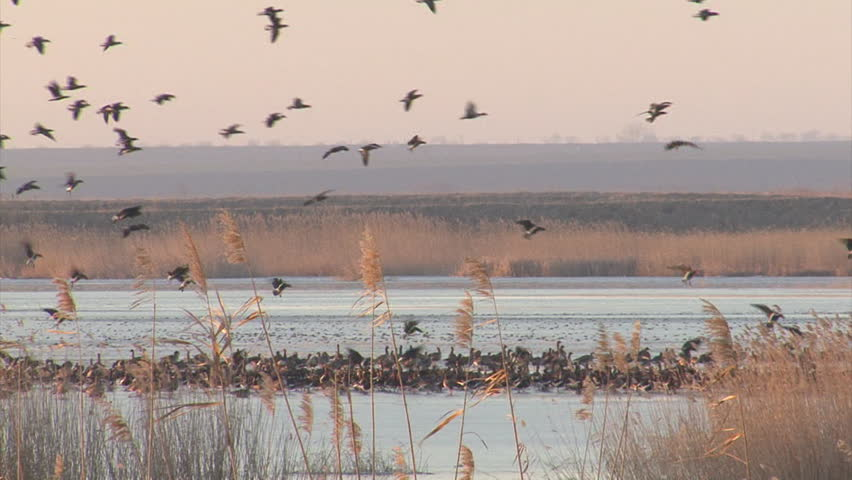 A spectacular display of hundreds of geese flying out at sunrise. White-fronted and red-breasted geese fly in to a lake in the morning. Taken at Durankulak lake and Shabla lake, Bulgaria.