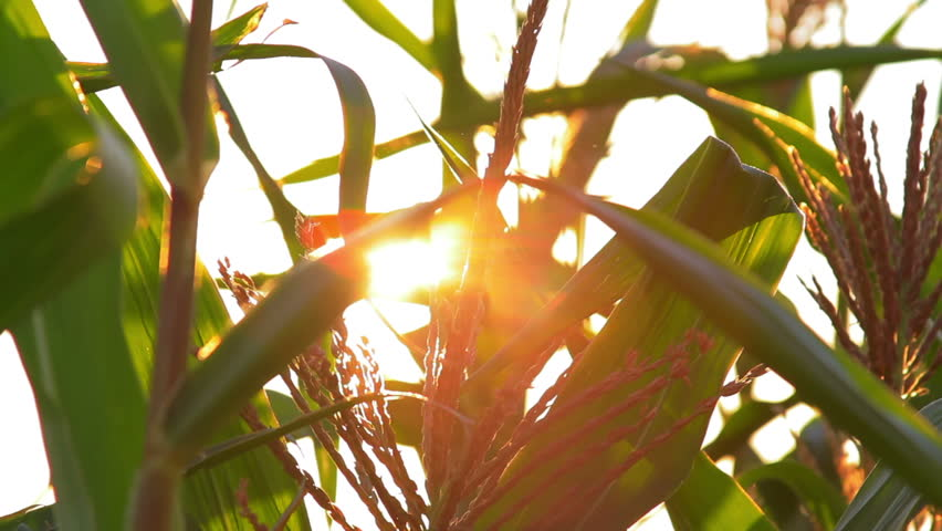 Shimmering sunbeams behind the cornfield stalks, close up shot on cornfield plants with sun backlight