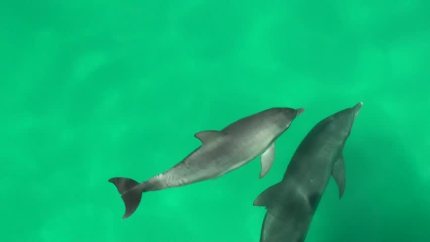 baby bottlenose dolphin swims with mother (Tursiops truncatus)