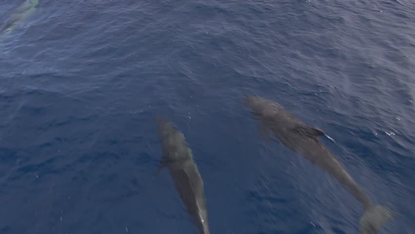 fast dolphins bow riding (Tursiops truncatus)