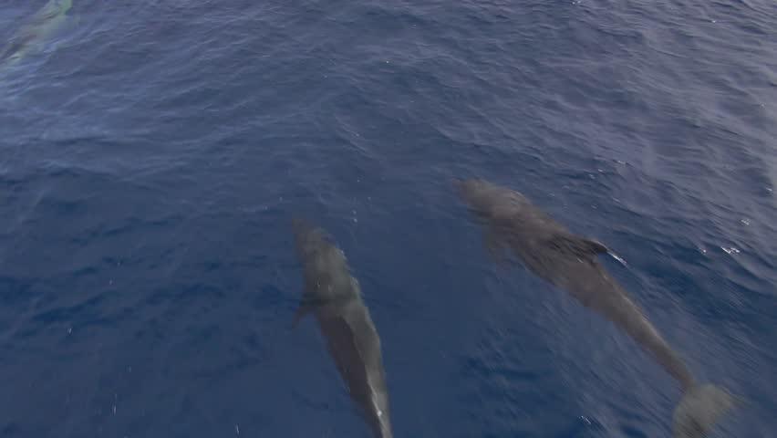 fast dolphins bow riding (Tursiops truncatus)
