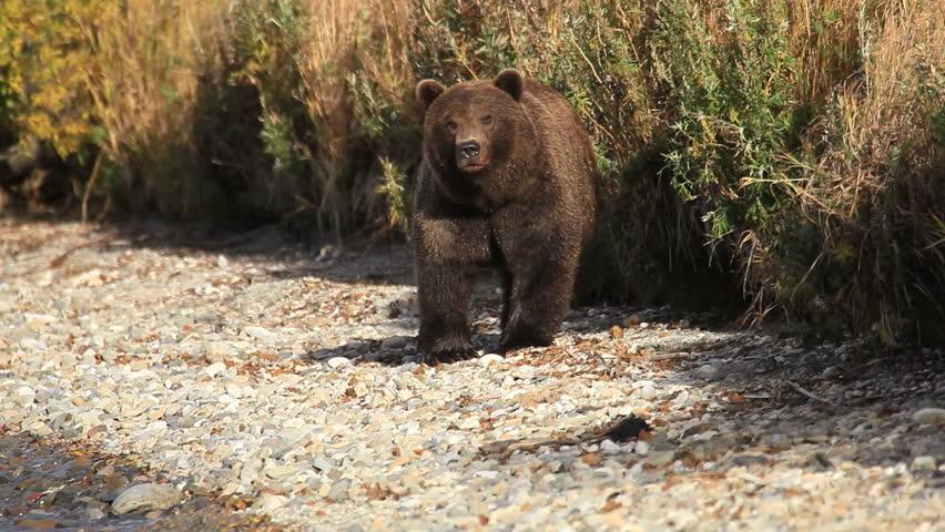 bears fishing