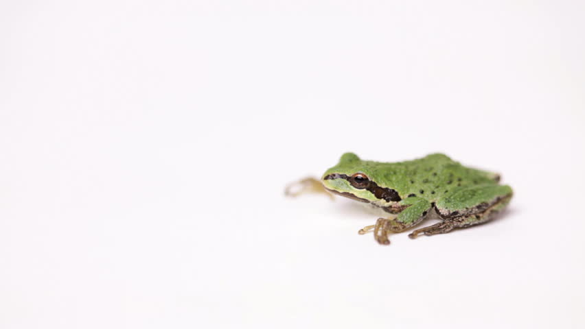 Pacific Tree Frog (Pseudacris regilla) on seamless white background - HD stock video clip