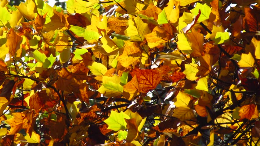 Colorful autumn leaves in wind sapling