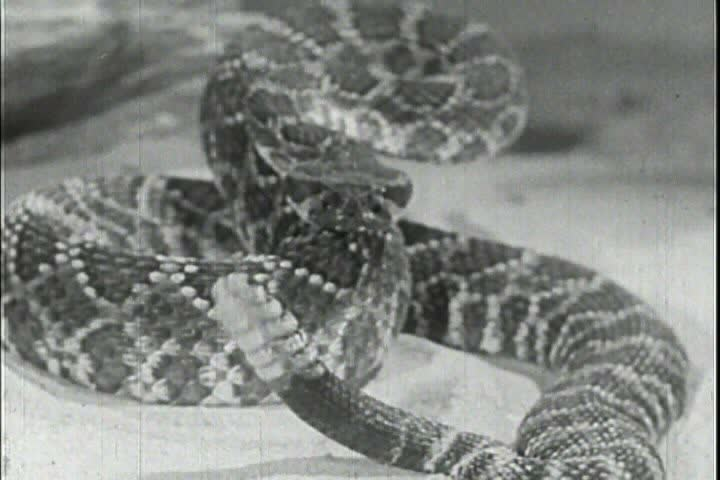 Rattlesnakes are studied in 1956.