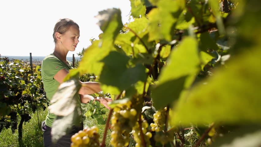 Young woman picking grapes on the vineyard during the vine harvest