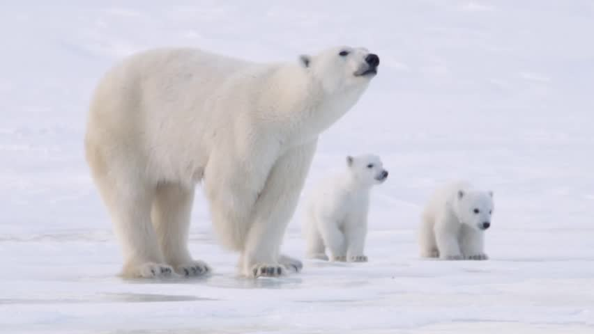 Pair of polar bear cubs walking in the arctic with their mother.